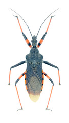 Bug Rhynocoris annulatus