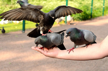 Pigeons on a female hand