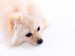 white pomeranian puppy dog