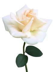 White rose flower. Photo-realistic vector illustration