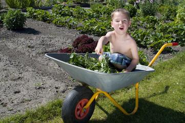 kleiner Junge erntet Gemüse aus dem Garten