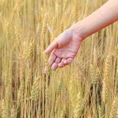 hand woman touch barley rice