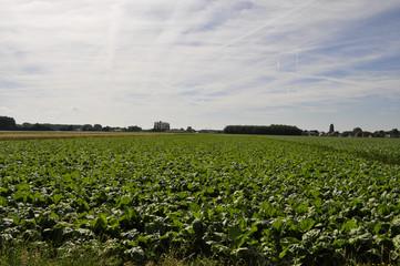 Field with potato plants