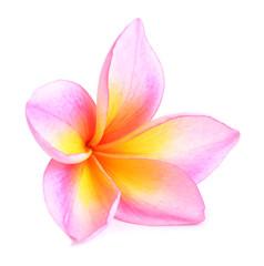 plumeria flower isolated on white background