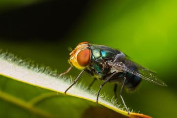 Housefly resting on green leaf