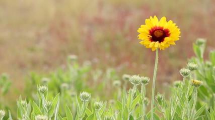 Sundance Flower in Breeze
