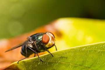Housefly resting on green leaf