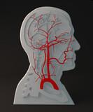 Arteria facciale apparato circolatorio, sezione testa