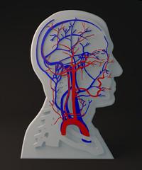 Arteria e vene facciali apparato circolatorio, sezione testa