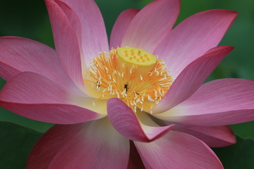 closeup of Lotus flower
