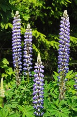 Blue and white Lupin flowers © Arena Photo UK