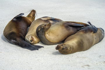 Family of Seals napping on the beach