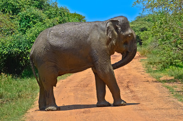 Wild Elephant In Yala National Park
