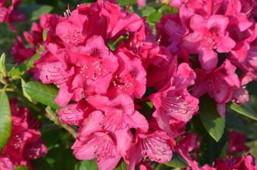 Rhododendron - Blüten