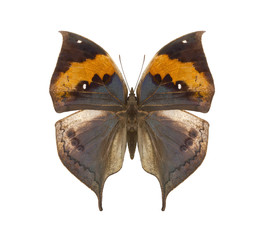 Kallima tropical butterfly