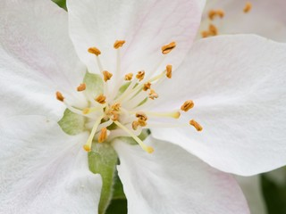 Center of the apple blossom, macro