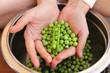 green peas in hands
