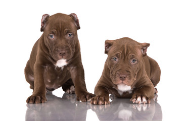 two chocolate pitbull puppies with cropped ears