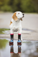 beagle dog wearing rain boots outdoors