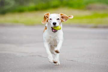 beagle dog running with a ball