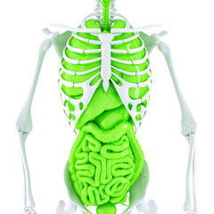 Human skeleton and internal organs. Isolated. Clipping path