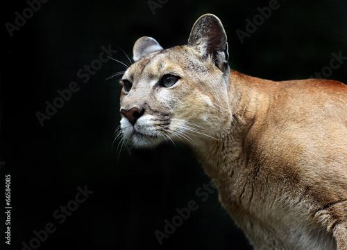 Poster Puma Puma