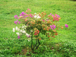 flowering tree in Thailand