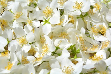 Hintergrund - Jasminblüten