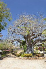 Baobab Tree in Kenya.