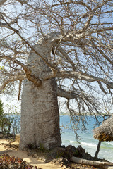 Baobab Tree in Kenya