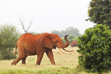 Red African Elephant in Kenya