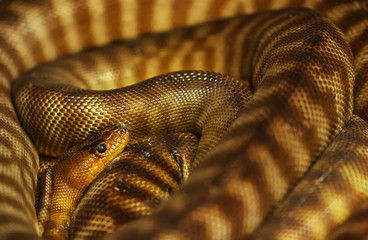 Pygmy Banded Python tightly coiled up