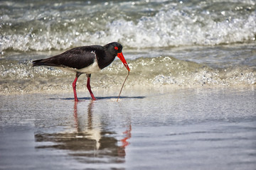 Pied Oystercatcher pulling a worm