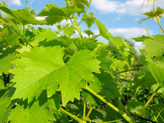 close-up of green grapevine