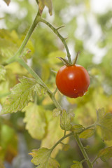 Cherry tomato growing on a vine