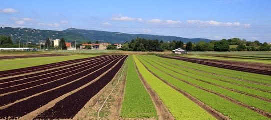 lignes de culture intensive de salades