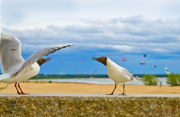 Gulls arquing on the parapet at the seaside