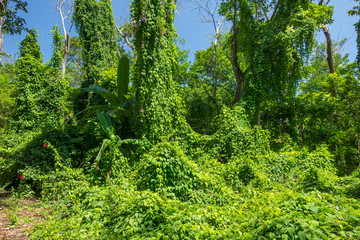 Lush Vegetation in the Rain Forest of Costa Rica