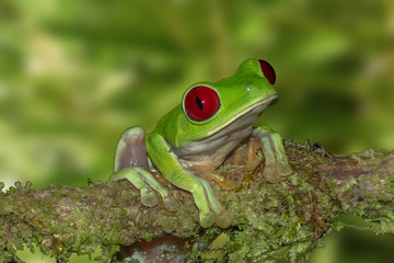 Red-eyed Tree Frog On A Branch