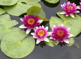 Fototapety lotus