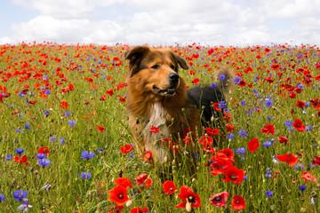 Hund steht im Mohnblumen und Kornblumenfeld