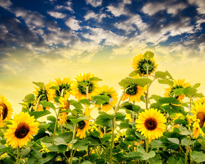 Sunflowers :)