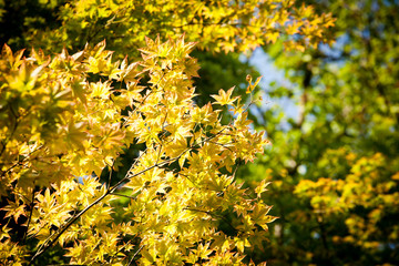 maple tree, yellow leaves brighten maple tree in the forest