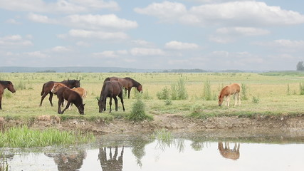 horses and foals on pasture near river