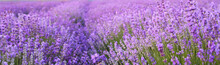 Flowers in the lavender fields.