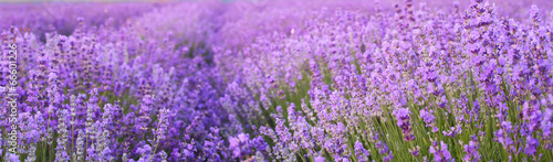 Spoed canvasdoek 2cm dik Landschappen Flowers in the lavender fields.