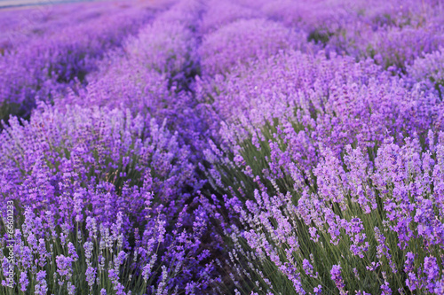 Naklejka Flowers in the lavender fields.