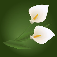white calla flowers on an green background