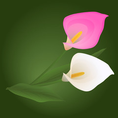 pink and white calla flowers