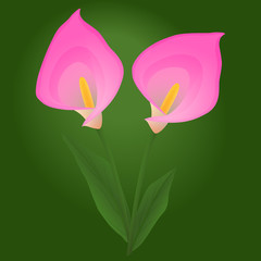 Pink calla flowers